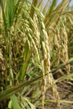 Ripe rice grains in Asia before harvest Royalty Free Stock Image