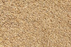 Ripe rice grains drying in the sun Stock Image