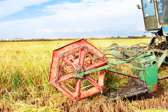 Ripe rice harvesting Royalty Free Stock Photo