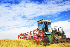 Ripe rice harvesting Royalty Free Stock Image