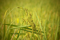Ripe rice Royalty Free Stock Photo