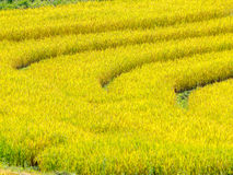 Ripe rice ready to harvest in the farmland Royalty Free Stock Image