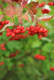 Ripe, rich, red rowan berries Stock Photos