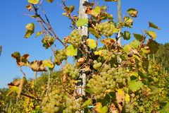 Ripe Riesling grapes. On the vine Royalty Free Stock Images