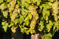 Ripe riesling grapes on vine Stock Images