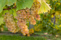 Ripe riesling grapevine and leaves Royalty Free Stock Photo