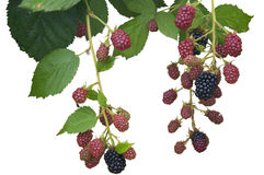 Ripe, Ripening, and Unripe Blackberries Isolated Royalty Free Stock Photos