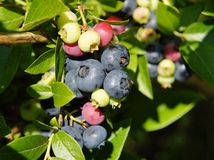 Ripe,ripening, and unripe blueberries Stock Image