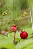 Ripe and ripening wild strawberries in the grass Royalty Free Stock Photography