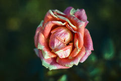 Ripe rose bud. Open colorful aging bud of red-pink-yellow tea rose in the center of composition. Blurred background of green leaves Royalty Free Stock Photo