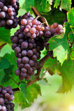 Ripe rose grapes Royalty Free Stock Photo