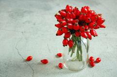 Ripe rose hip berries Royalty Free Stock Image