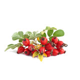 Ripe rose hip or Rosa canina Stock Photography
