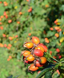 Ripe rose hips Stock Images