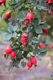 Ripe rose hips on a branch with rain drops Royalty Free Stock Photo