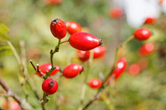 Ripe Rose Hips Rosa canina in Late Summer. Closeup of a dog rose`s branch with ripe rose hips during Indian Summer stock photo
