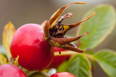 Ripe rosehip berries Stock Image