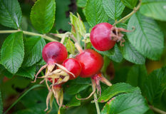 Ripe rosehip berries Royalty Free Stock Photos