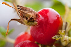 Ripe rosehip berries Stock Photo
