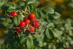 Ripe rosehip on a branch. Dog-rose red berries. Wild rose.  royalty free stock photo