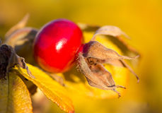Ripe rosehip, selective focus stock images