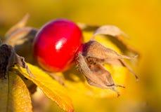 Ripe rosehip, selective focus. Close-up ripe rosehip, selective focus Stock Images