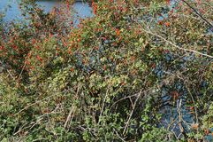 Ripe rosehips on the bush near the blue river. Selective focus on the fruit stock image