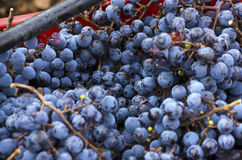 Ripe and rotten Merlot clusters in a crate during the vine harvest in Bulgaria. Selective focus Stock Photos