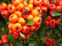 Ripe rowan Royalty Free Stock Photography