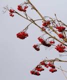 Ripe rowan berries against sky. Stock Photo