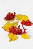 Ripe rowan berries Royalty Free Stock Images