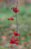 Ripe rowan berries Royalty Free Stock Image
