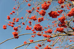 Ripe rowan berries Stock Image
