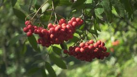 Ripe rowan berries on green branches mountain ash tree in forest. Close up bright berries roman trees on background green foliage trees in garden stock video