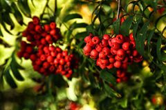 Ripe rowan berries and leaves close up. Ripe rowan berries and leaves close-up. Rowan tree, Close-up of bright rowan berries on a tree on a sunny day Stock Photo