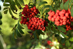 Ripe rowan berries and leaves close-up. Ripe rowan berries and leaves close up. Rowan tree, Close-up of bright rowan berries on a tree on a sunny day Royalty Free Stock Photo