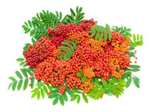 Ripe rowan berries and leaves isolated on white background Royalty Free Stock Image