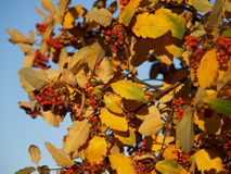Ripe Rowan berries on plant. Close up of ripe red Rowan berries on plant with autumnal leaves Stock Photography