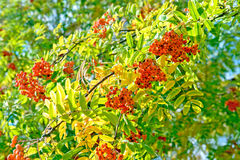 Ripe rowan berries Stock Images