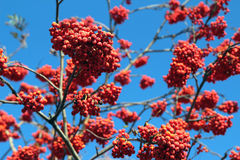 Ripe rowan berries on the tree against the sky Royalty Free Stock Images