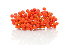 Ripe rowan berries on a white background Royalty Free Stock Image