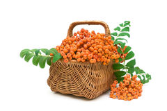 Ripe rowan berries in a wicker basket on a white background Royalty Free Stock Photo
