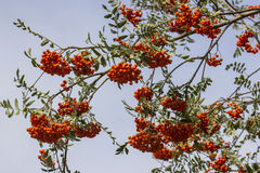 Ripe rowan fruits on the tree Stock Photo