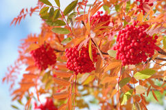 Ripe Rowan Stock Photography