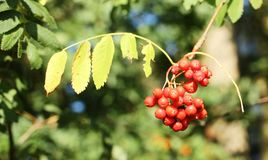 Ripe rowanberries on tree. Ripe rowanberries on the tree royalty free stock photography
