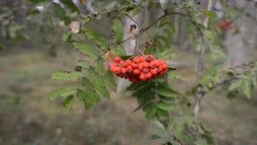 Ripe rowanberry branch. Ripe rowanberries on tree branch in summer forest stock video footage
