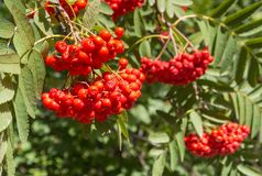 Ripe rowanberry fruit on rowan tree. Closeup of ripe rowanberry fruit on rowan tree Royalty Free Stock Photography