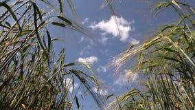 Ripe rye ear swing on wind on blue sky background in summer stock video footage