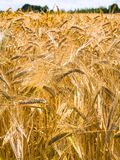 Ripe rye ears on field in in Brittany. Country landscape - ripe rye ears on field in Cotes-d'Armor department of Brittany, France in sunny summer day Stock Images
