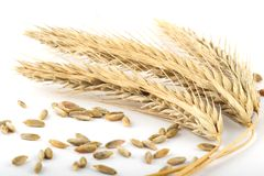 Ripe rye ears on white. Ripe corn ears with some grains scattered royalty free stock image
